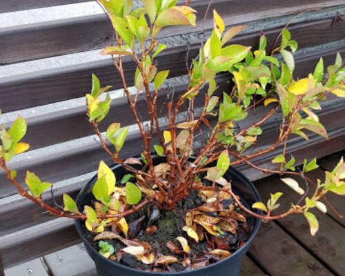 Lingonberry Suomeksi